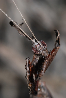 Phyllocrania paradoxa ♂