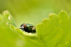 Green Mouche